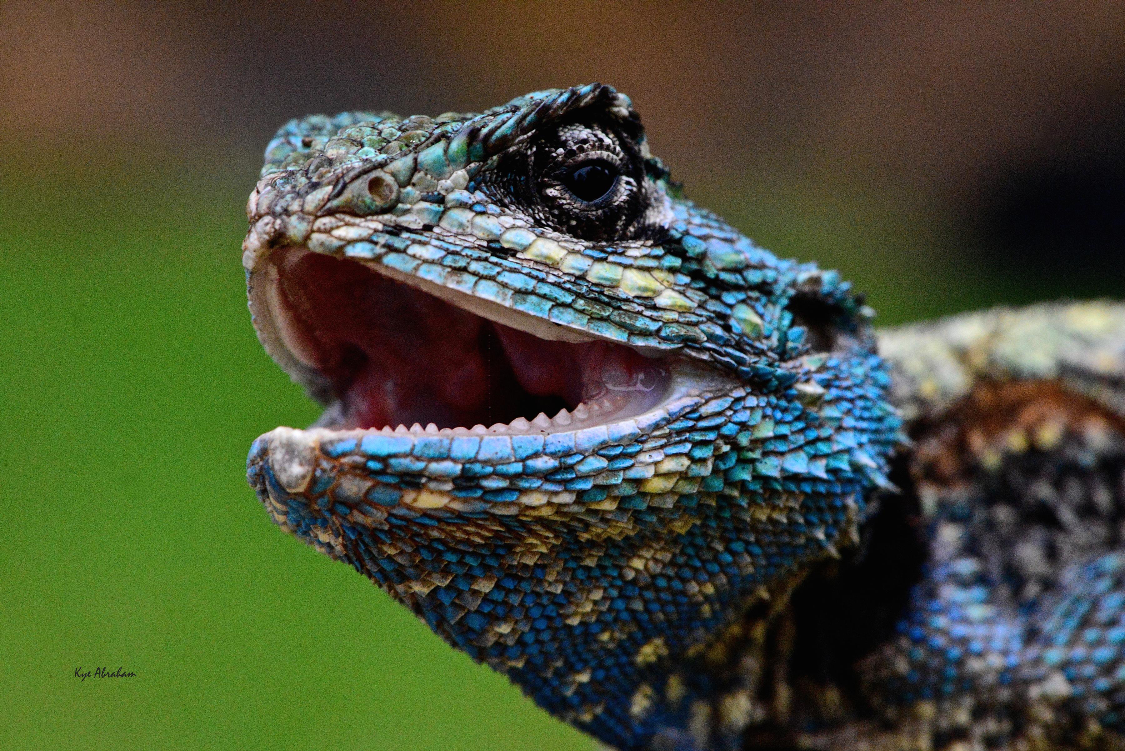 Blue headed Igama