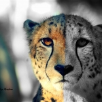 Cheetah Edit